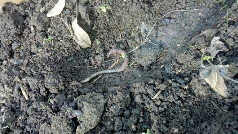 lombrices en el suelo