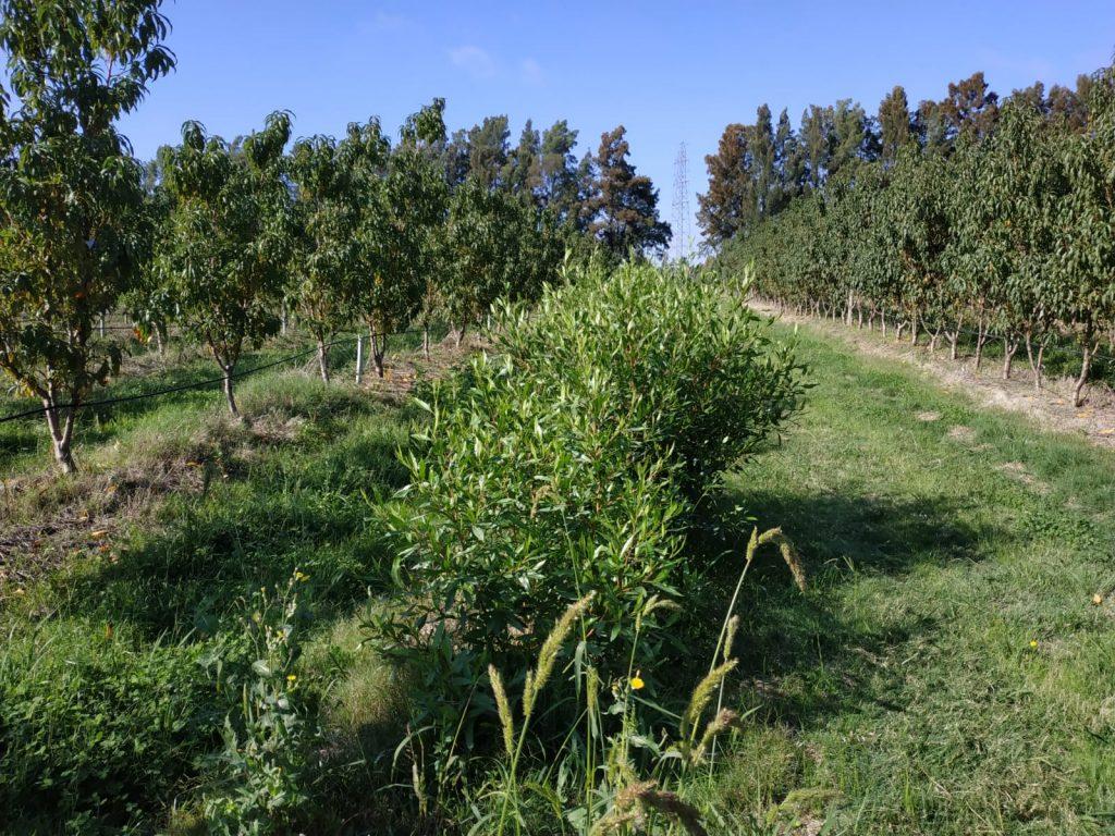 plantacion de manzanos en suelo agricola